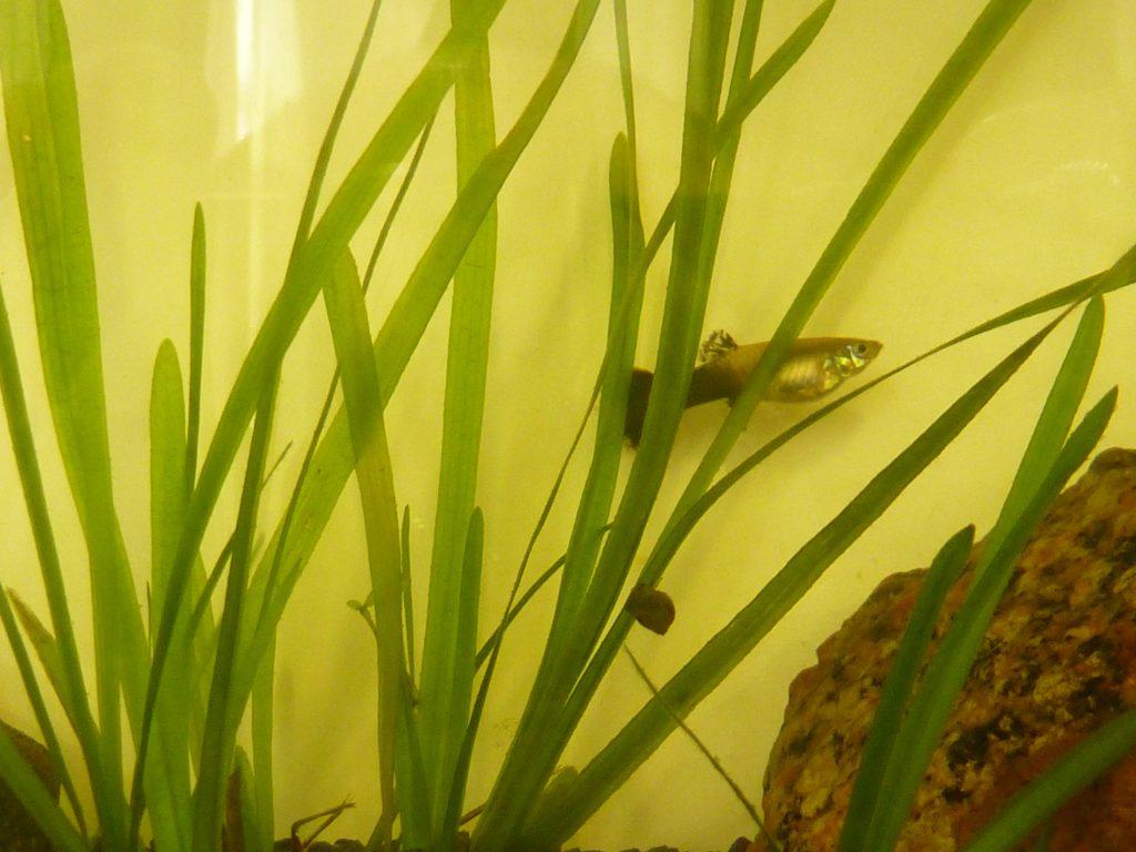 Le guppy est ovovivipare. C'est à dire que les petits naissent directement formés car les oeufs éclosent directement dans le ventre de la mère